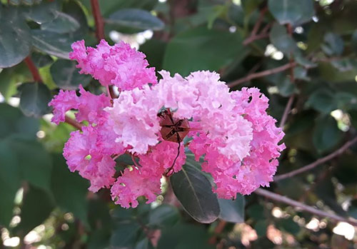 Common Crape Myrtle