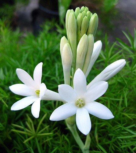 Mexican Tuberose flower