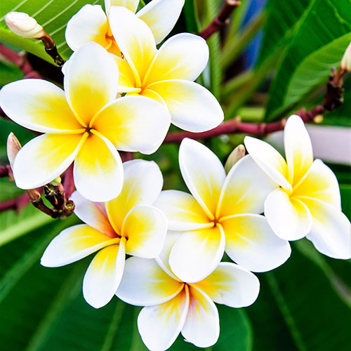 Common White Frangipani