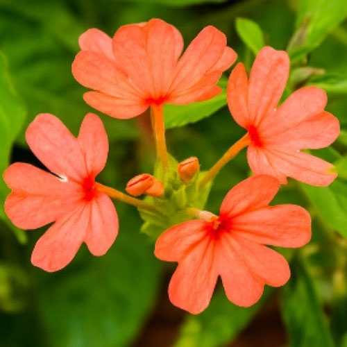 Crossandra flower