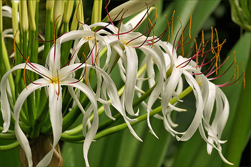 Grand Crinum Lily flower