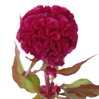 cockscomb flower