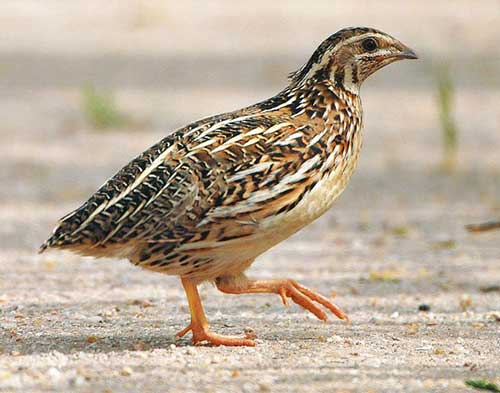 indian Quail