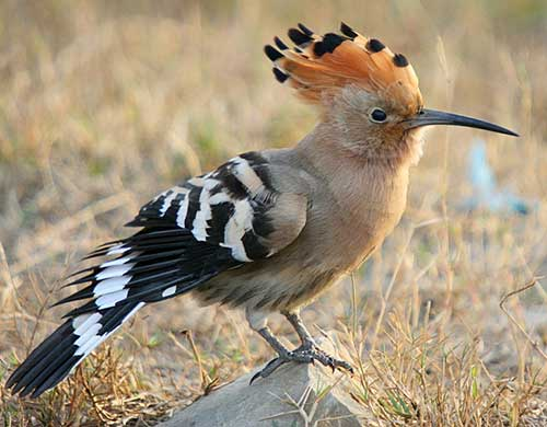 indian hoopoe bird