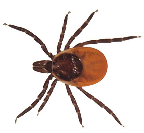 Tick insect
