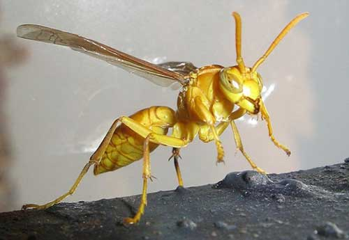 yellow indian Wasp